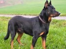 Mis razas favoritas de perros: Beauceron, Bichon Frise, Bernese Mountain Dog