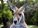 Sacrificarán miles de canguros en Australia