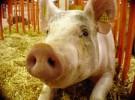FAO pide investigar a los cerdos