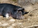 Pusieron en cuarentena al único cerdo de Afganistán