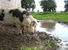 Numerosos sacrificios de cerdos en Egipto