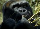 El gorila está cada vez más amenazado