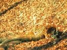 Presentaron a los tres cachorros de jaguar nacidos en el zoo de Berlín