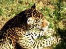 Rescatan a un jaguar encerrado en una casa abandonada