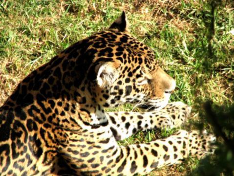 jaguar_zoo.jpg