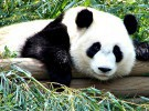 Seis pandas llegaron al zoológico de Beijing