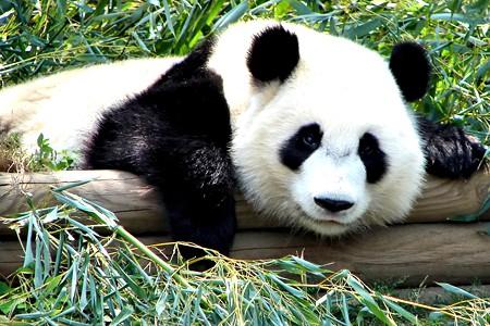 panda_oso.jpg