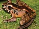 Una rana en Borneo se comunica en altas frecuencias