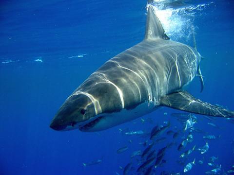 1509080211_tiburon_blanco.jpg