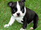 Mis razas favoritas de perros: Boston Terrier, Boxer, Dalmatian, Pekingese, Tibetan Spaniel
