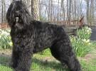 Mis razas favoritas de perros: Bouvier des Flanders, Brussels griffon, Dechshund, English Cocker Spaniel