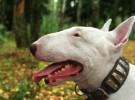 Mis razas favoritas de perros: Bull Terrier, Chow Chow, Chinese Shar Pei, Collie,