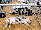 Por la Gripe A organizan una feria rural sin cerdos