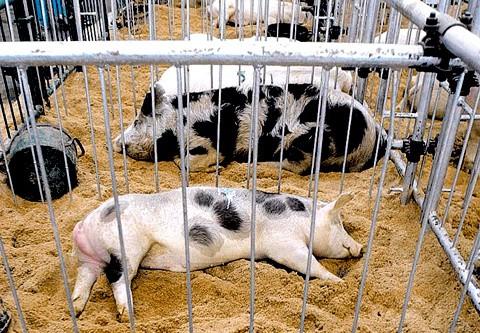 Cerdos en el Corral