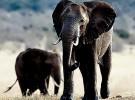 Animales asesinos: el elefante, puesto 6