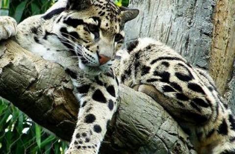 Encuentran leopardos que se creían extintos