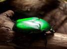 Lo último en alta tecnología: escarabajos verdes