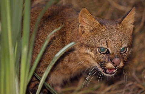 Gato Colocolo o Gato de los Pajonales