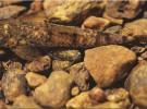 Descubierto un nuevo anfibio flourescente