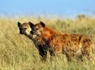 Animales asesinos: la hiena, puesto 9