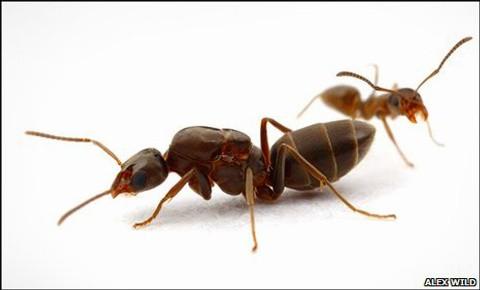 Hormigas Argentinas