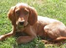 Mis razas favoritas de perros: Irish,  Japanese Terrier, Labrador Retriever, Lakeland Terrier, Leonberger,
