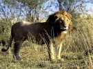 Animales asesinos: los grandes felinos, puesto 7