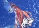 Los cefalópodos  pueden escuchar bajo el agua