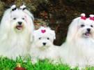 Mis razas favoritas de perros: Maltese, Manchester Terrier, Miniatura Pinscher, Newfoundland, Miniatura Schnauzer,