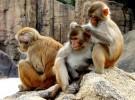 Los monos «obesos» viven menos