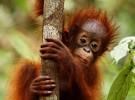 El orangután es noticia