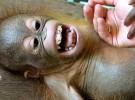 ¿Simios que ríen?