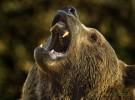 Aumenta la población de osos en la cordillera Cantábrica