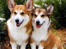 Mis razas favoritas de perros: Penbroke Welsh Corgi, Polish Lowland Sheepdog, Pomeranian, Poodle