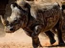 Los rinocerontes están al borde de la extinción