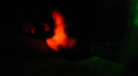 perrotransgenicofluorescente