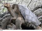 La última tortuga gigante