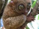 Un primate que puede ver en la oscuridad