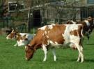 Ajo y las flatulencias de las vacas