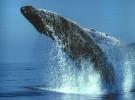 Cae la caza de ballenas en Noruega