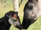 Un okapi nacido en cautiverio