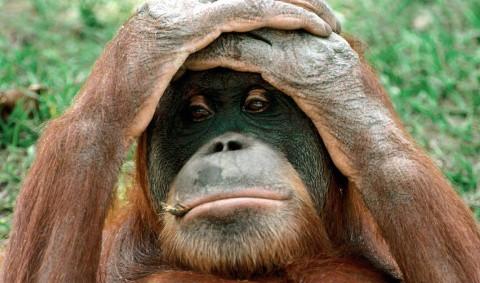 Orangután de las selvas de Sumatra y Borneo