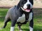 Un Pitbull Terrier asesinó a su propio dueño