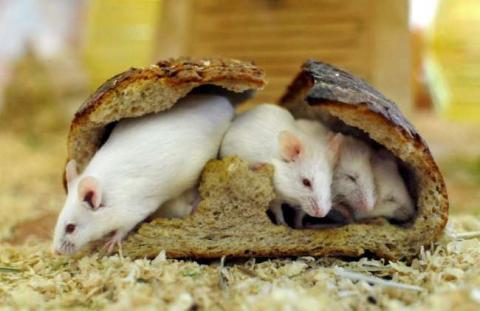 roedoresafectados