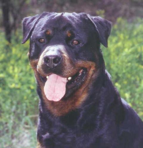 Perros Agresivos - Rottweiler