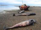 Ballenas murieron varadas en la costa patagónica