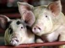 Los cerdos también salvan vidas