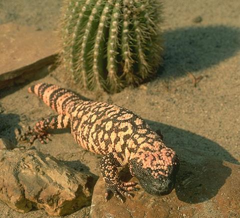lagarto del desierto