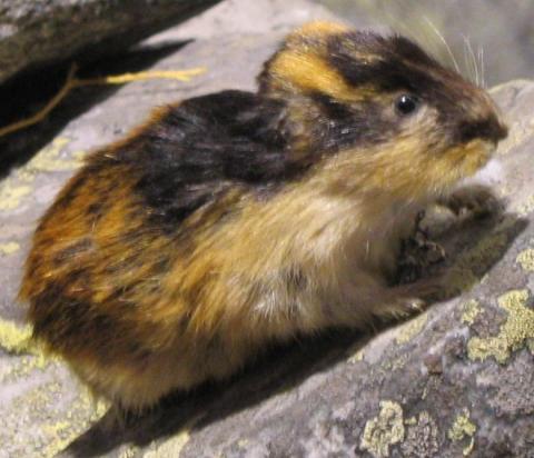 El lemming o conejo del norte de Noruega
