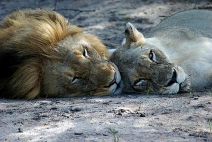 leonesafricanos